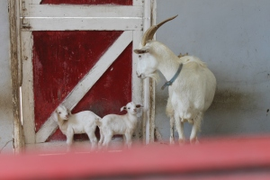 The Centre's newest additions:  twin goats