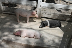 Three piglets.