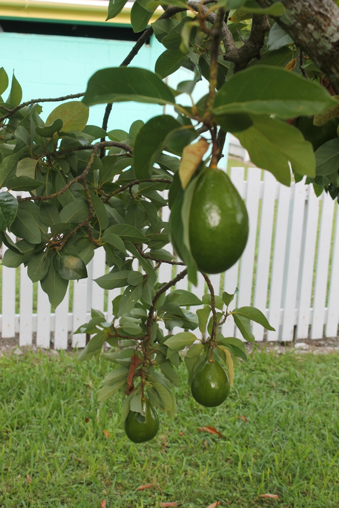 The avocados (Bahamians call them pears) on the tree just outside our back door are ripe, and boy are they delicious.  We eat avocado almost every day.