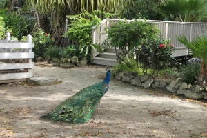 Ardasta Gardens donated 5 roaming peacocks and hens.  They are beautiful creatures.