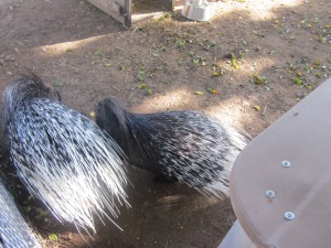 The two new animals added to the Centre's petting farm. Except you probably won't want to pet these critters.  They are Indian Crested porcupines.